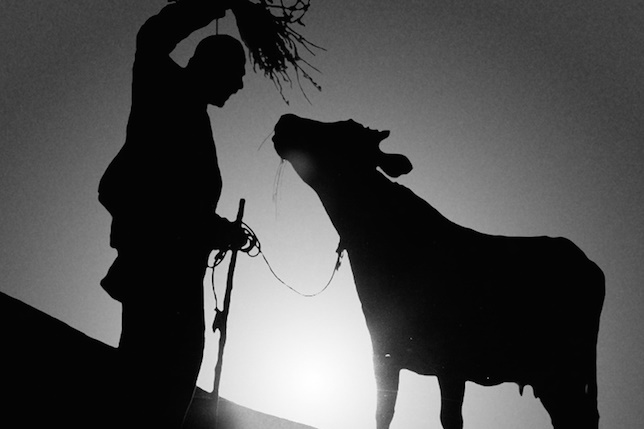cow-blog2